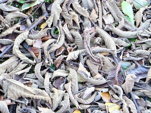 листья, как удобрение для растений - опавшая листва