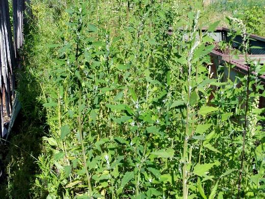 настой из сорняков, как удобрение - лебеда