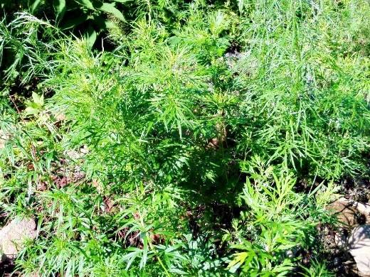 настой из сорняков, как удобрение - полынь