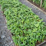 уход за клубникой после сбора урожая - клубничная грядка 1