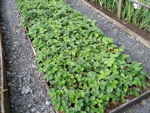 уход за клубникой после сбора урожая - клубничная грядка