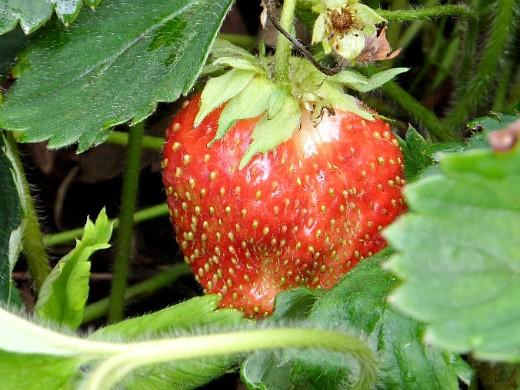 уход за клубникой после сбора урожая - спелая ягода