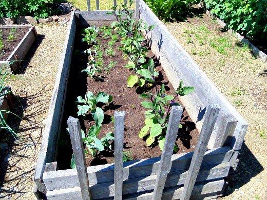 особенности выращивания овощей в северных районах - парник для баклажан