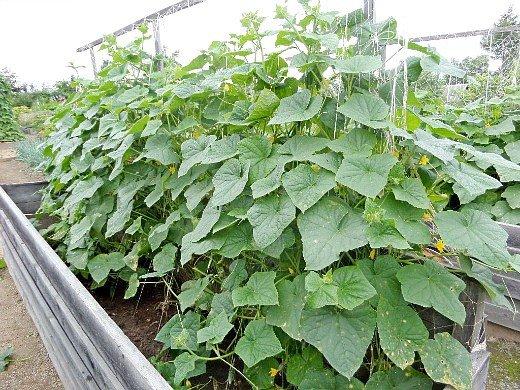 особенности выращивания овощей в северных районах - парник для огурцов с нарощенной стенкой