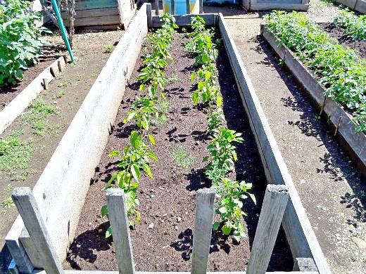 особенности выращивания овощей в северных районах - парник с перцами