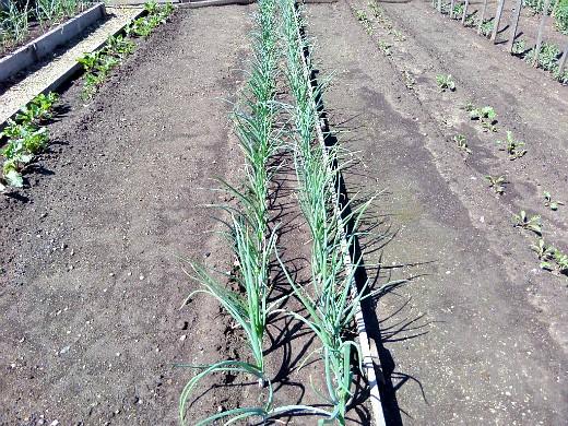 особенности выращивания овощей в северных районах - посадка лука по методу миттладера