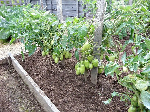 особенности выращивания овощей в северных районах - посадка помидор по методу миттлайдера