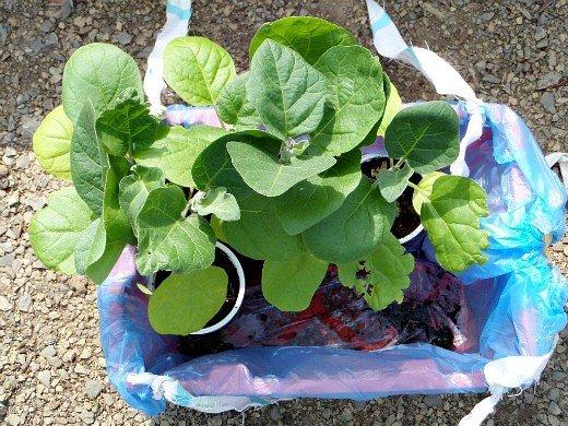 особенности выращивания овощей в северных районах - рассада баклажан