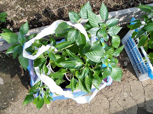 особенности выращивания овощей в северных районах - рассада сладкого перца