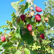 посадка малины осенью, когда, как и где 1