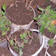хранение хризантем зимой 1