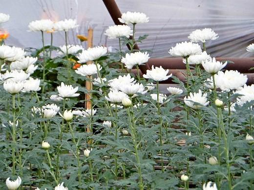 хранение хризантем зимой - белые цветы в теплице