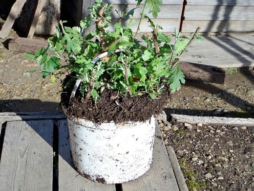 хранение хризантем зимой - осеннее выкапывание хризантем