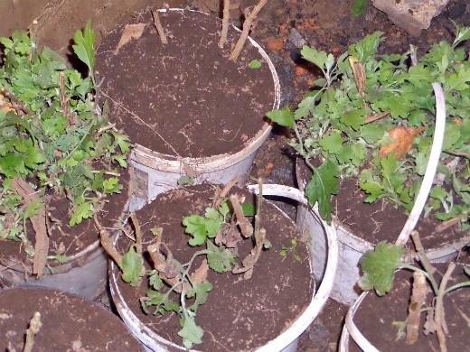 хранение хризантем зимой - каждый сорт хризантем в подвале в собственном ведерке