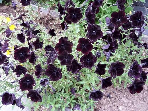 лучшие сорта петунии - названия гибридов, фото на дачной клумбе