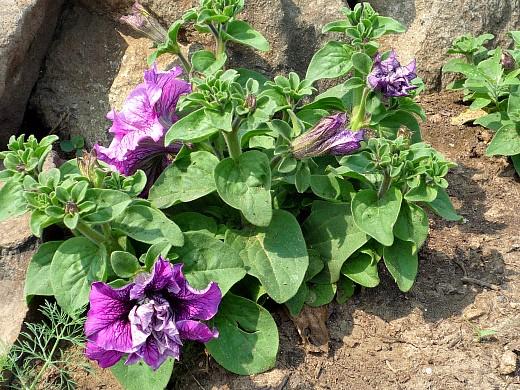 прищипывание растений - прищипка петуний