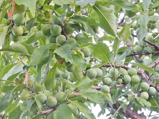 почему на сливе нет плодов 1-3