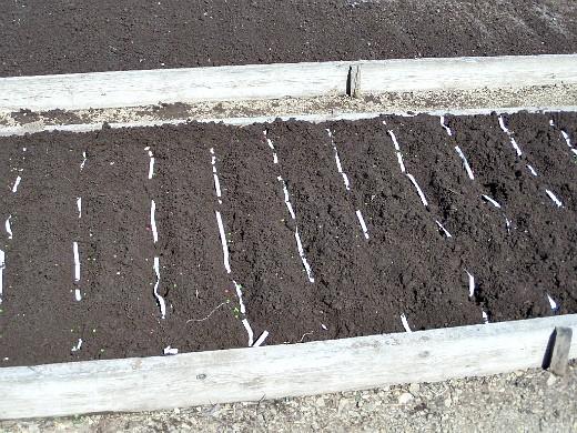 посадка моркови лентой, укладка в земляные борозды