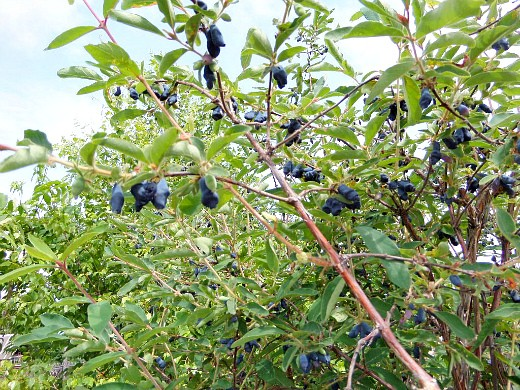 сорта жимолости с названием и описанием - ягоды на ветках
