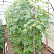 совместимость растений в теплице