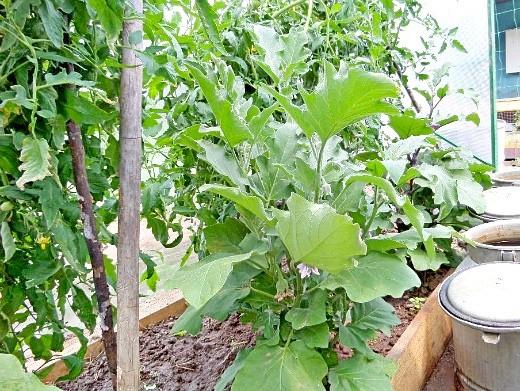 совместимость растений в теплицы - помидоры и баклажаны