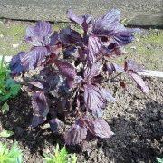 перилла кустарниковая - описание и выращивание 1