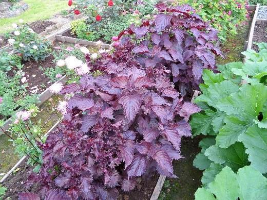 перилла кустарниковая - описание и выращивание, на даче