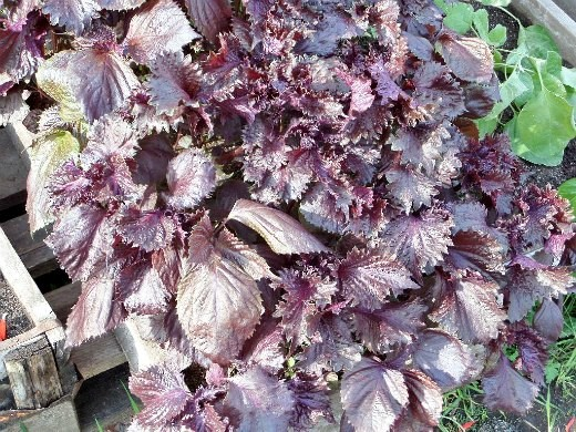 перилла кустарниковая - описание и выращивание - на клумбе