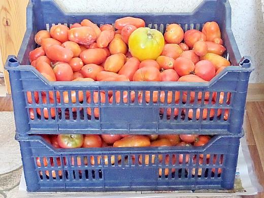 Как повысить урожайность помидор