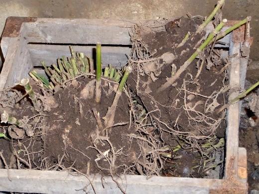 как сажать георгины весной - клубни георгин в подвале