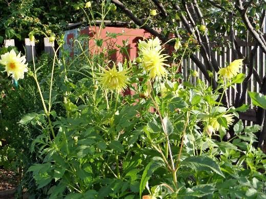 как сажать георгины весной - желтые цветы