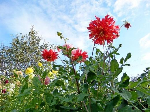как сажать георгины весной - цветы на фоне неба