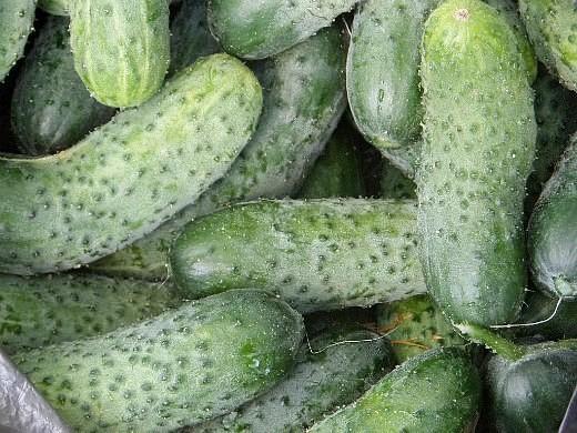 лучшие сорта огурцов для открытого грунта и теплицы - урожай
