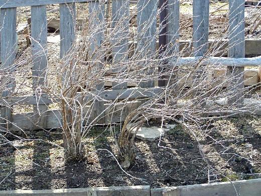 опрыскивание сада весной от вредителей и болезней - крыжовник до набухания почек