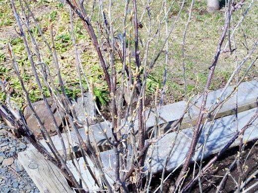 опрыскивание сада весной от вредителей и болезней - на смородине появились почки