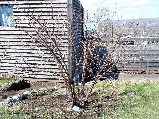опрыскивание сада весной от вредителей и болезней - войлочная вишня до набухания почек