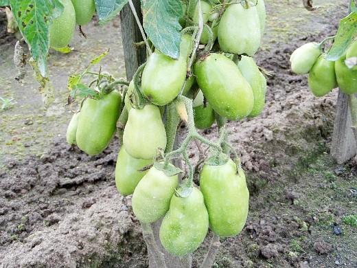 как ускорить созревание помидоров в открытом грунте и в теплице
