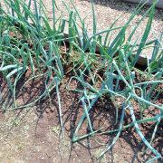 удобрение для лука, подкормка грядка с луком