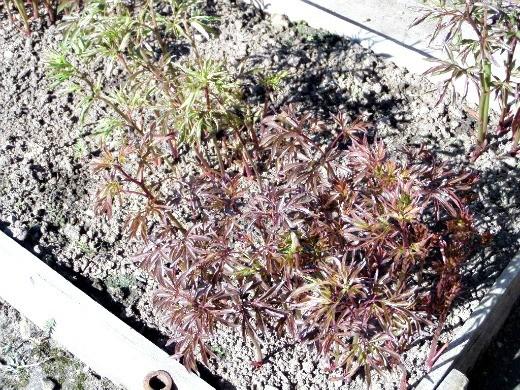 удобрения для пионов при посадке и выращивании - ростки пионов на весенней грядке