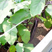 удобрения для баклажанов подкормка при выращивании - баклажаны в дачном парнике