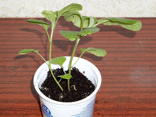 удобрения для баклажанов подкормка при выращивании - рассада баклажан