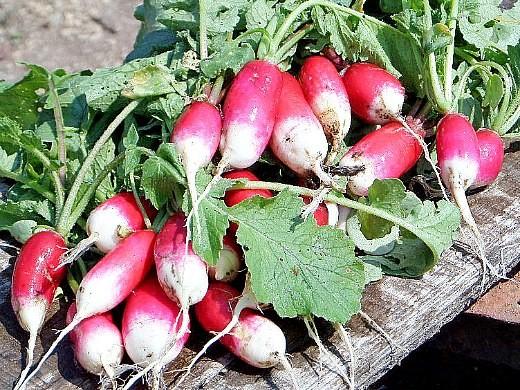 лучшие сорта редиса для открытого грунта и теплиц - урожай