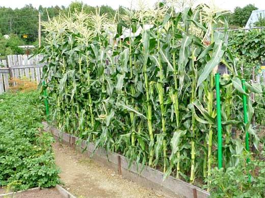 лучшие сорта кукурузы для любых регионов россии - на грядке