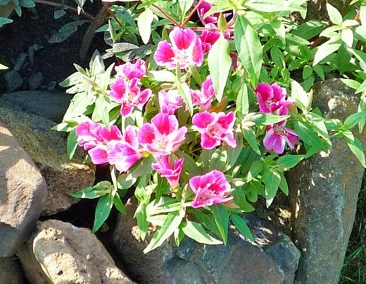 неприхотливые однолетние цветы, цветущие все лето - годеция