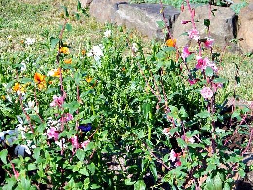 неприхотливые однолетние цветы, цветущие все лето - кларкия