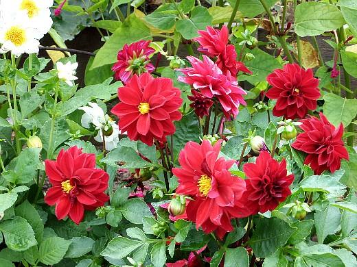 неприхотливые однолетние цветы, цветущие все лето - георгины, сорт веселые ребята
