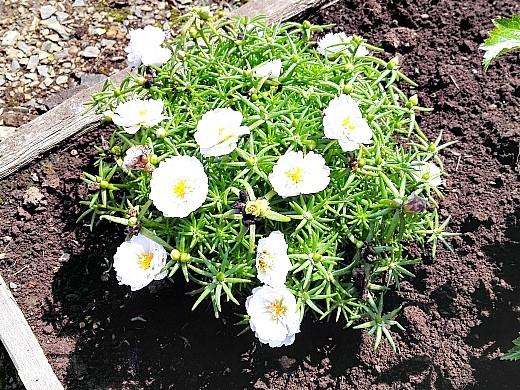неприхотливые однолетние цветы, цветущие все лето - портулак декоративный, белый
