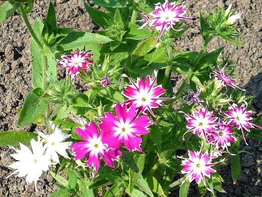 неприхотливые однолетние цветы, цветущие все лето - флокс друммонда
