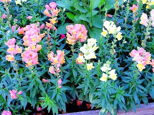 неприхотливые однолетние цветы, цветущие все лето - львиный зев
