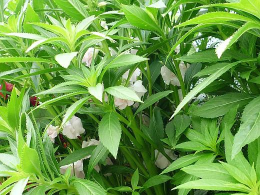 неприхотливые однолетние, цветущие все лето - бальзамин садовый